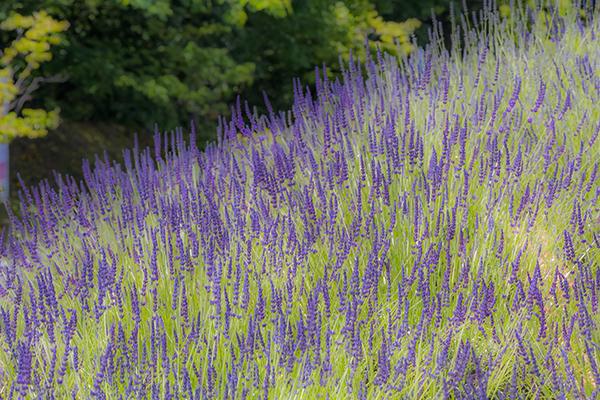 Centrale's Lavender